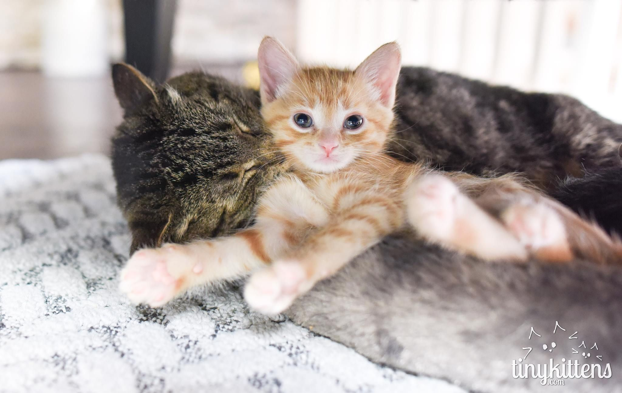Ancient Ailing Battle Scarred Feral Cat Lets A Couple Of Kittens Charm Their Way Into His Battered Heart Cats And Kittens How To Introduce Cats Kitten