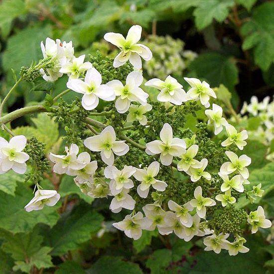 How to care for and choose hydrangeas hydrangea hydrangea quercifolia and gardens - Caring hydrangea garden ...