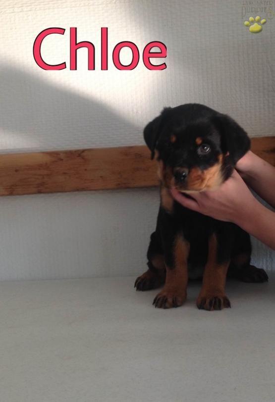 Chloe Rottweiler Puppy For Sale In Holmesville Oh Lancaster Puppies Rottweiler Puppies Rottweiler Puppies For Sale Rottweiler
