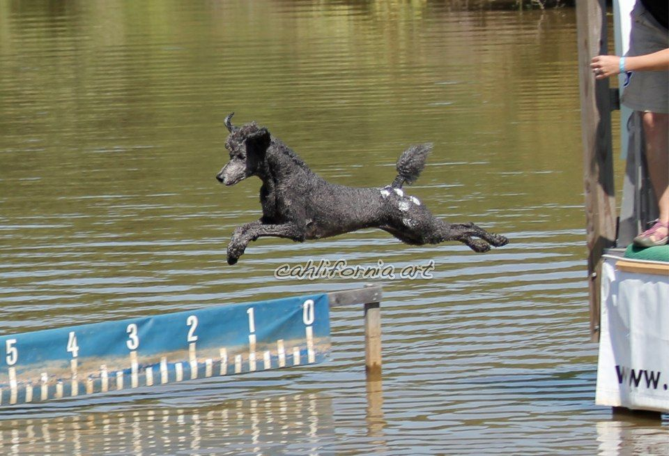 The Std Poodle Dock Diving In Costume As An Appaloosa Horse