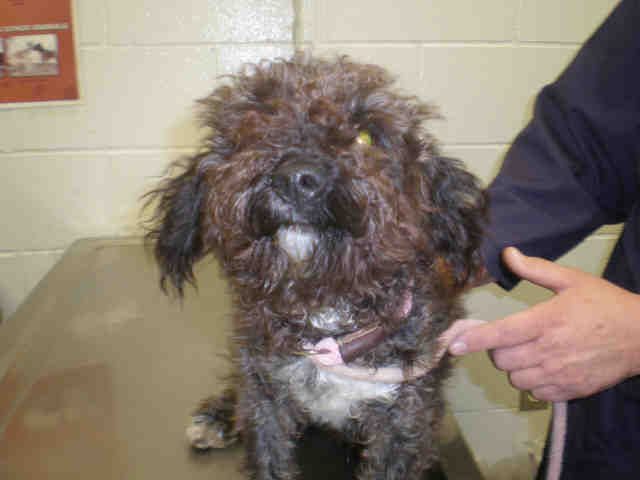 Illinois Urgent Elf Id A178349 Is A 1yo Toy Poodle Mix In Need