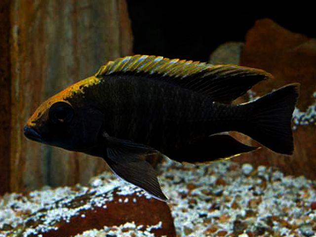 Aulonocara Maylandi Sulfur Head Peacock Cichlid Cichlids African Cichlids Fish Varieties