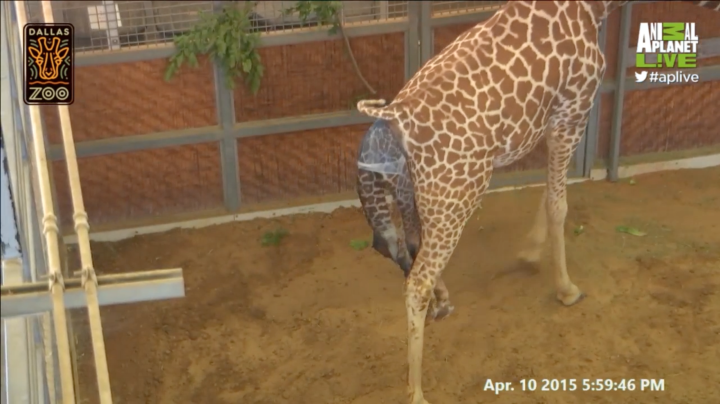 Pin på Gracious Giraffes