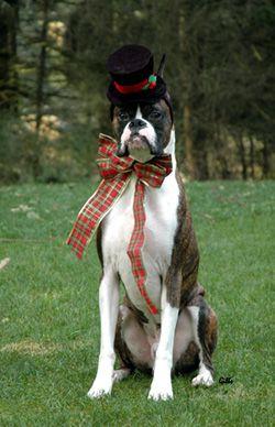 Favorite Photos Boxer Dogs Pet Costumes Dog Love