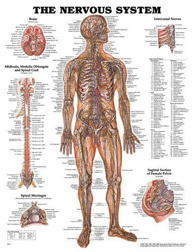 Nervous system chart 20 w x 26 h emtmedicmedicalfirst aid nervous system classic illustrations by peter bachin illustrates nerves in the body brain midbrain medulla oblongata and spinal cord also shows spinal ccuart Choice Image