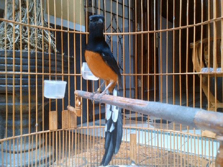Tips Merawat Burung Murai Batu Super Agar Bisa Gacor Murai Hewan Binatang