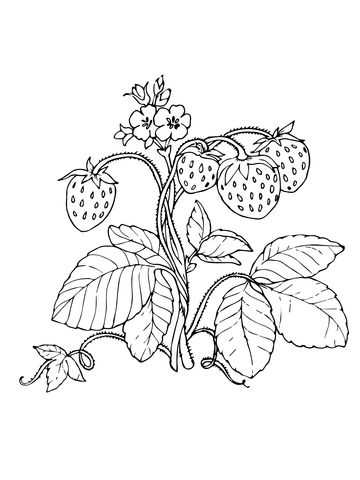 Red Strawberries Coloring Page Coloring Pages Red Strawberry