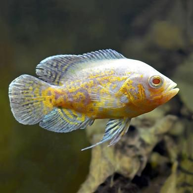 Lemon Oscar Oscar Fish Aquarium Fish Cichlid Aquarium