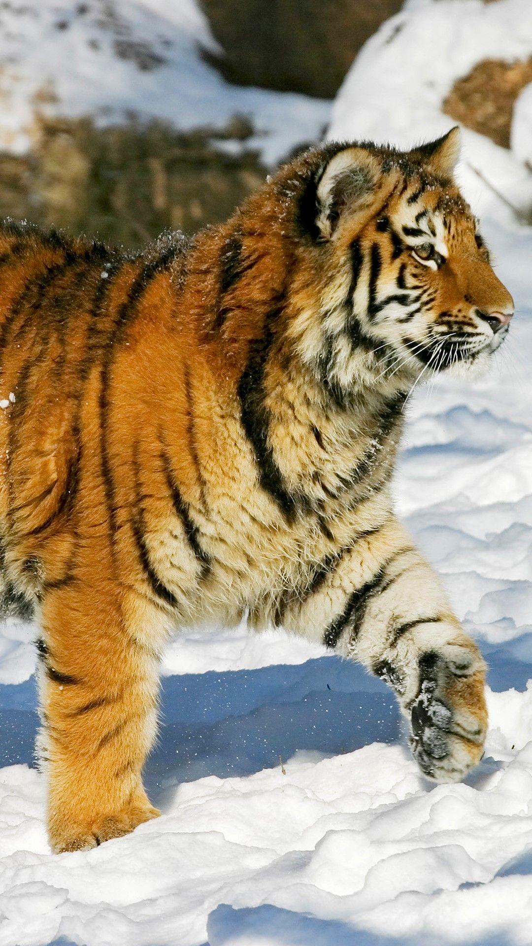 New Photo In Onedrive 8f3799e75650c46e281746e93dfd1f3612099a15f0487b81a663b4869f51a49f Jpg Panthera Tigris Panthera Animals