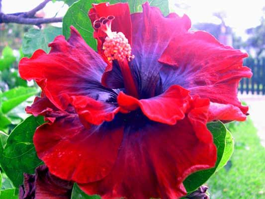 Nice In Red Tropical Hibiscus Hibiscus Plant Hibiscus Flowers Amazing Flowers