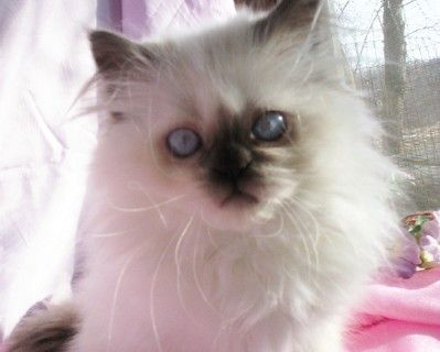 Available Kittens Alanlees Persian Himalayan Kittens And Sheltie