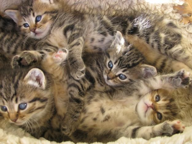 BEAUTIFUL BENGAL CROSS KITTENS VERY FLUFFY TABBY Cute