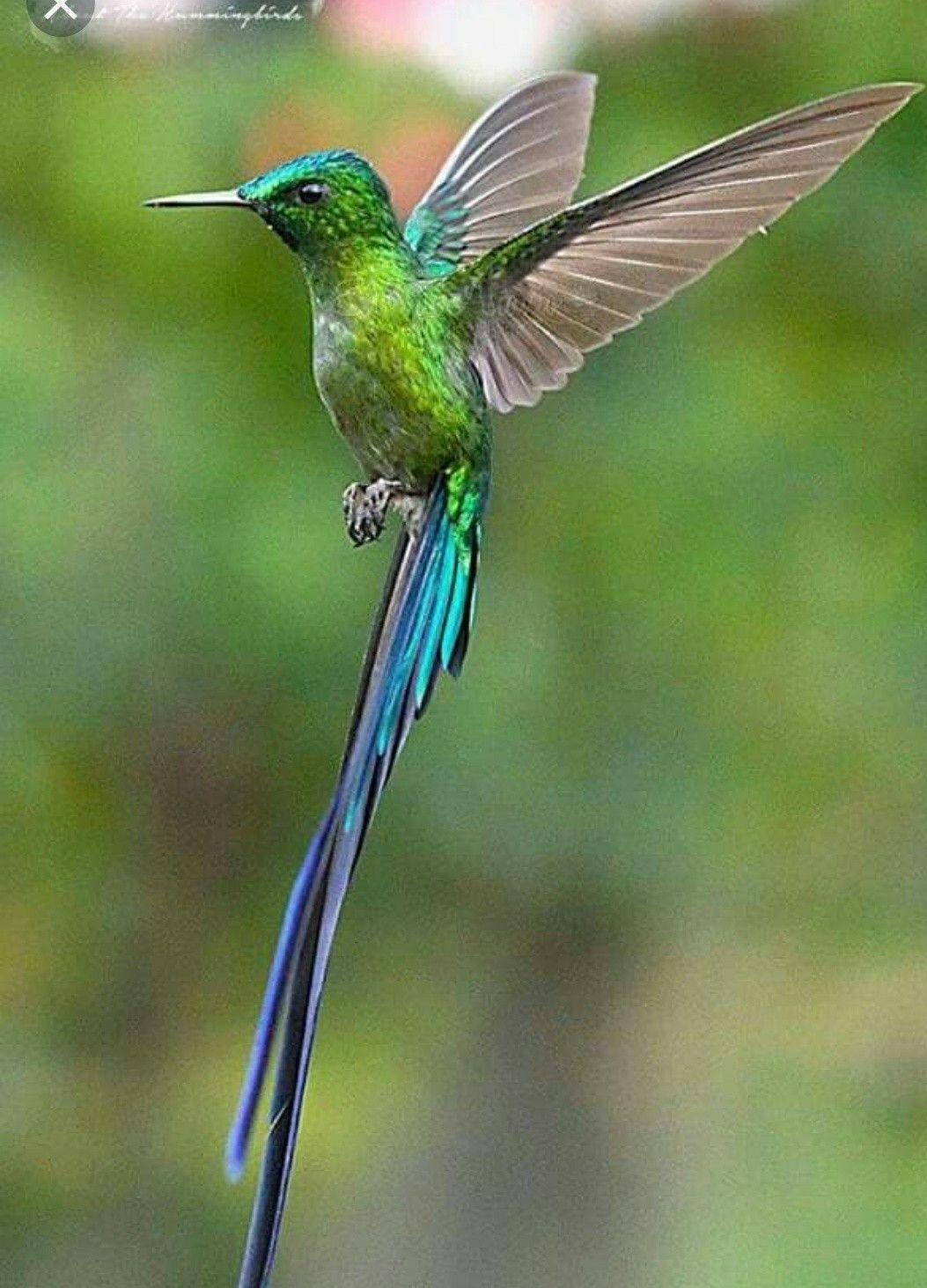 Pin by Pamela Araujo on Hummingbird (With images