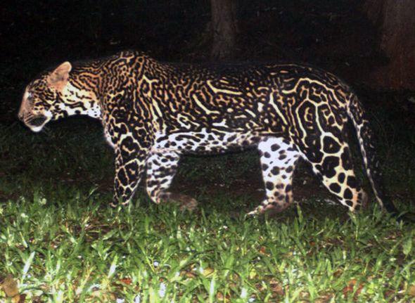 Animals With Unusual Coloration Melanistic Animals Animals Wild Cats