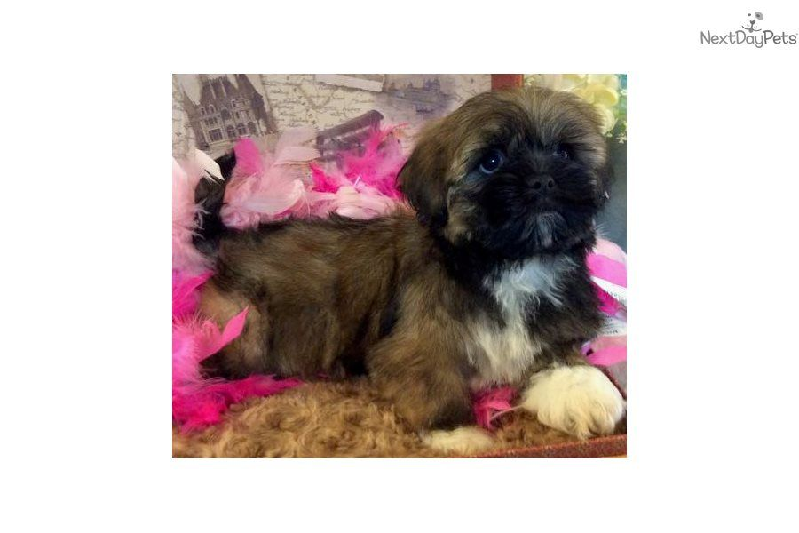 Vee Lhasa Apso Puppy For Sale Near Jacksonville Florida B43e4e68 58b1 Lhasa Apso Lhasa Apso Puppies Puppies