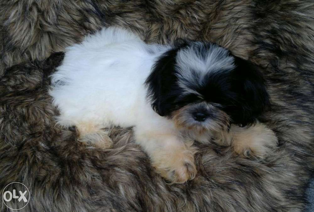 Shih Tzu High Quality Liver Line Male Female Puppy Dogs For Sale Philippines Find New And Used Shih Tzu High Quality Liver Line Puppies Dogs For Sale Dogs