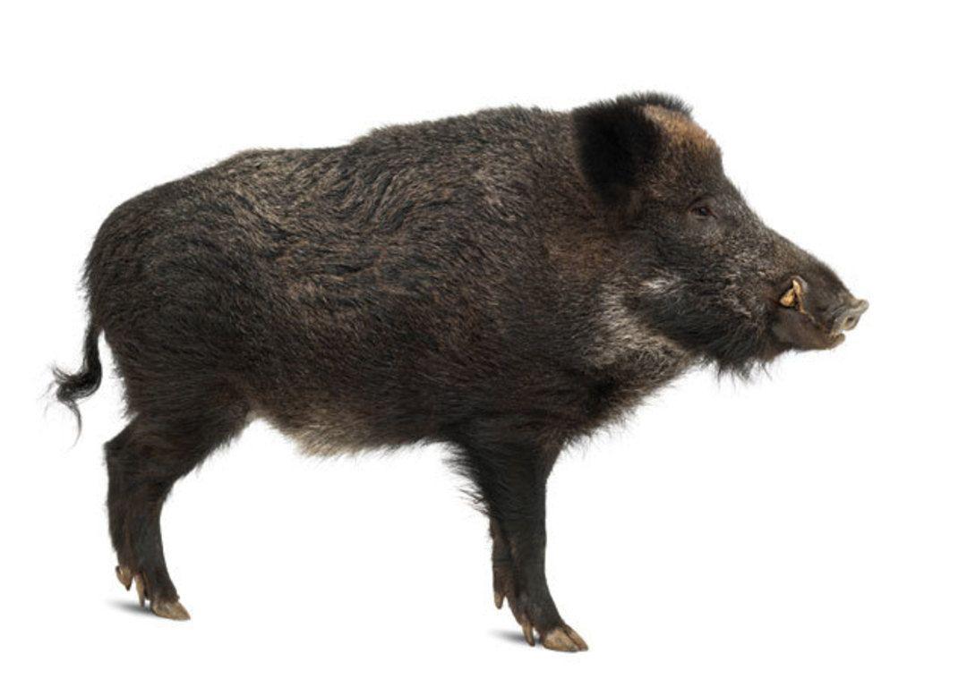 Superb  Biodiversity porcine Pinterest Wild boar and Animal