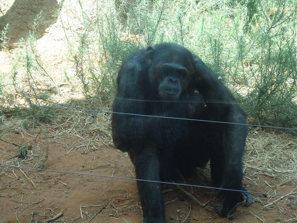 A lonely monkey in Rabat zoo
