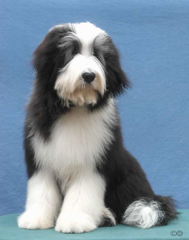 Bearded Collie Baxter Bearded Collie Puppies Bearded Collie Dog Groomers