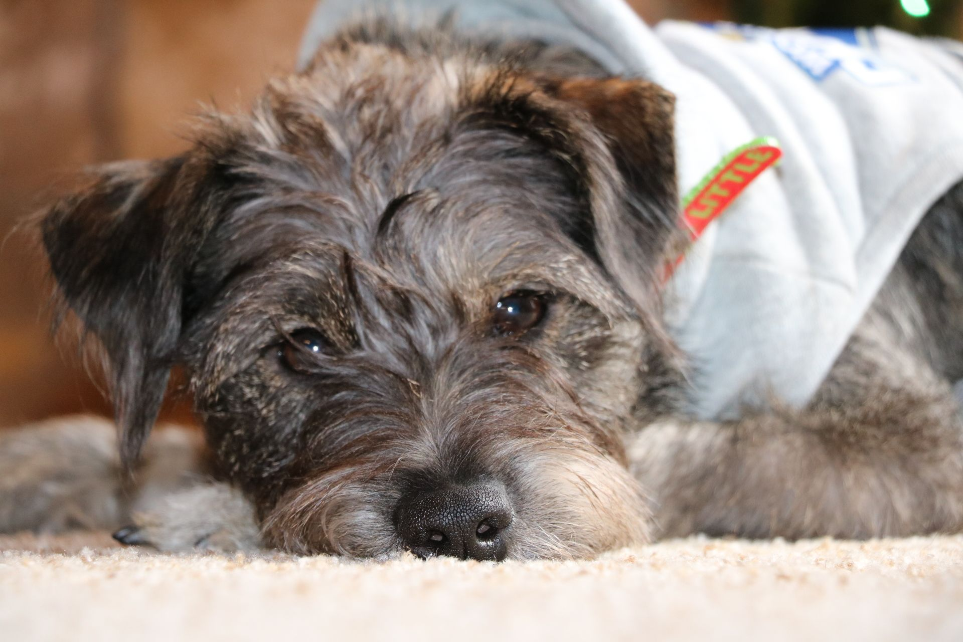 Jack Russell Terrier Schnauzer Mix Dog Photography Nicole