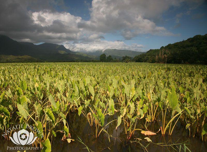 Hawaiian Crops & Fishponds   Maui Hawaiian Outdoor