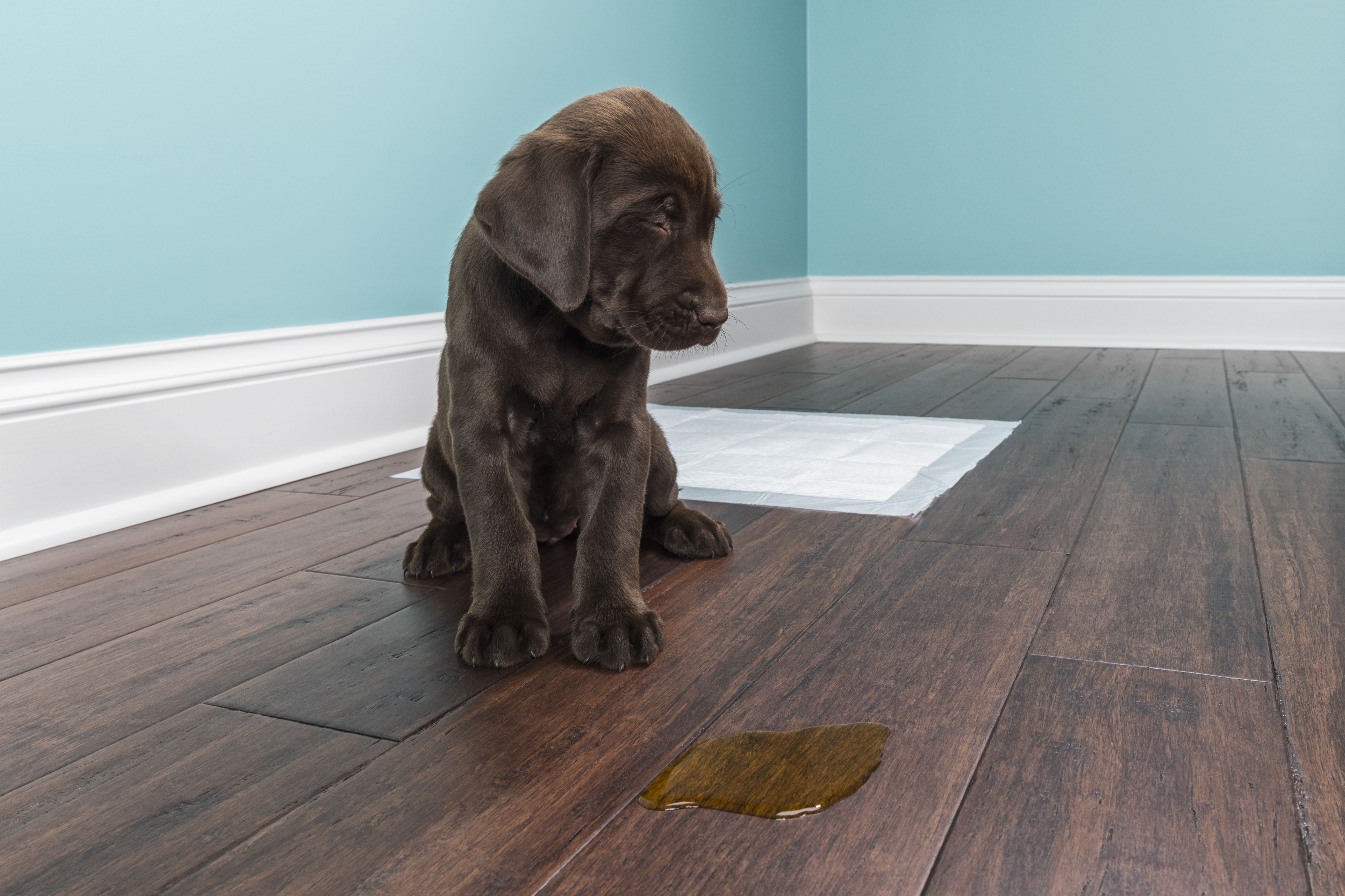 How To Remove Pet Stains On Hardwood Floors Hunker Remove Pet Stains Pet Stains Cleaning Dog Pee