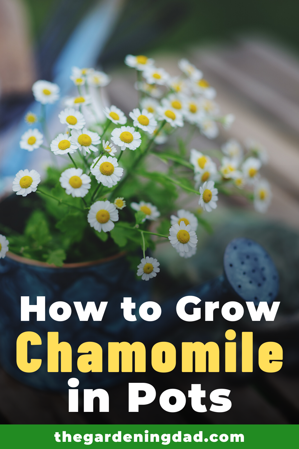 10 Easy Tips How To Grow Chamomile The Gardening Dad Chamomile Growing Chamomile Plant Chamomile Seeds