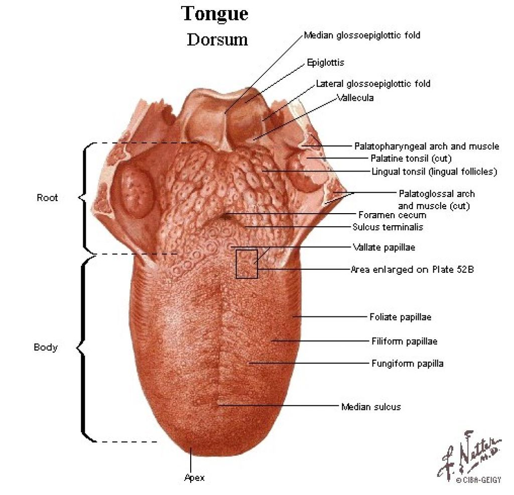Image Result For Human Tongue Innervation Dental Anatomy
