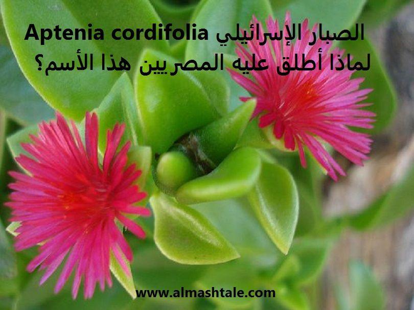 الصبار الإسرائيلي العناية والإكثار للنبات ولماذا أطلق عليه المصريين هذا الأسم Plants Green Growing