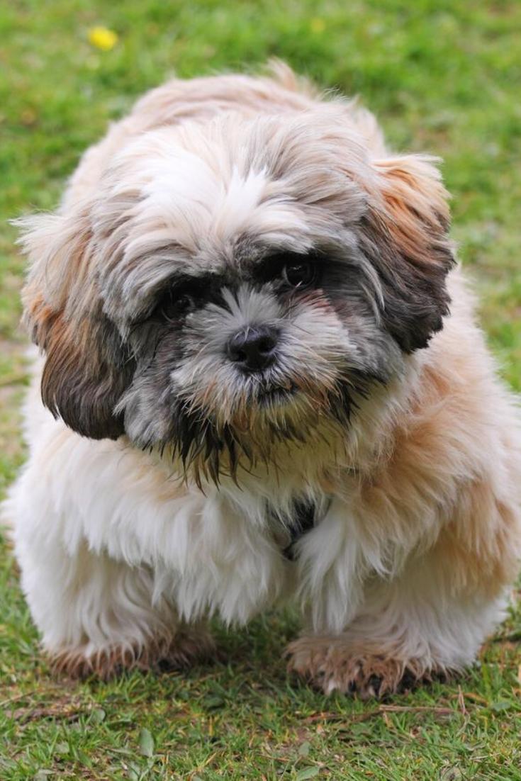 Cute Shih Tzu Puppy Dog Shihtzu In 2020 Shih Tzu Puppy Shih Tzu Puppies