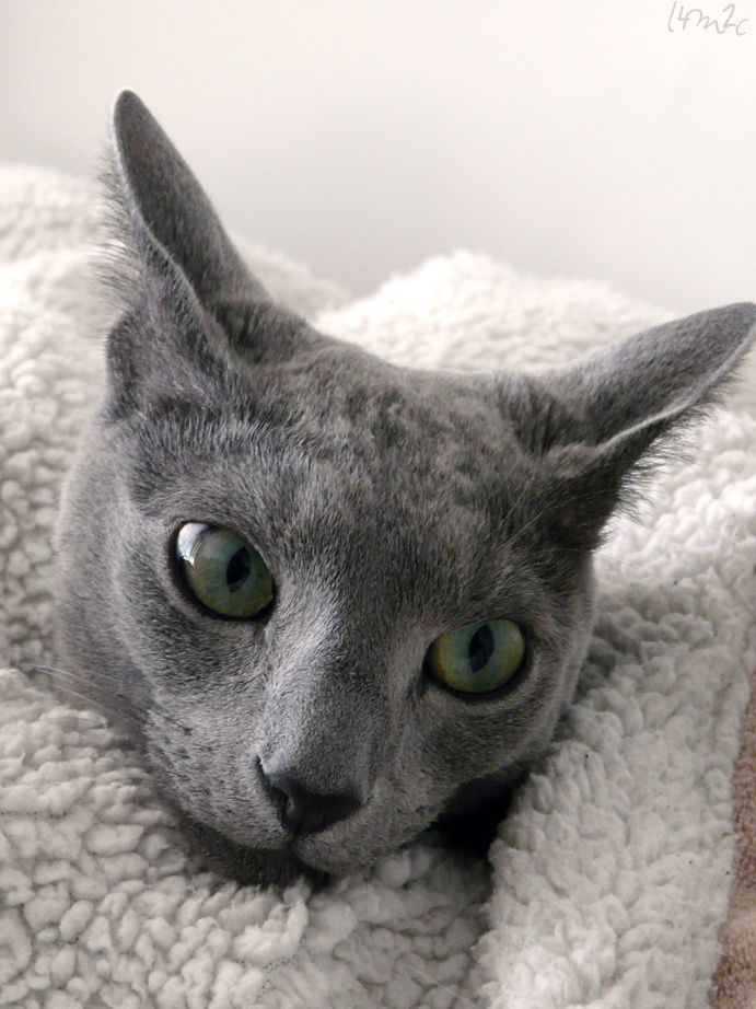 My Photography Of Our 2 Cats Russian Blue Cat Russian Blue