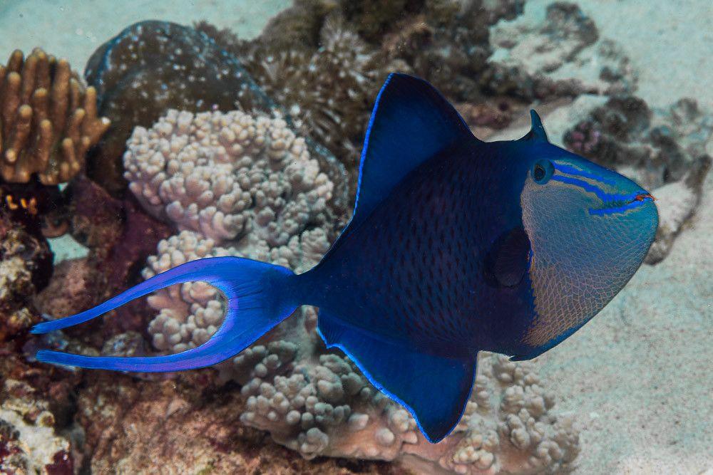 Redtooth Triggerfish Odonus Niger Tropical Freshwater Fish Freshwater Aquarium Fish Animals