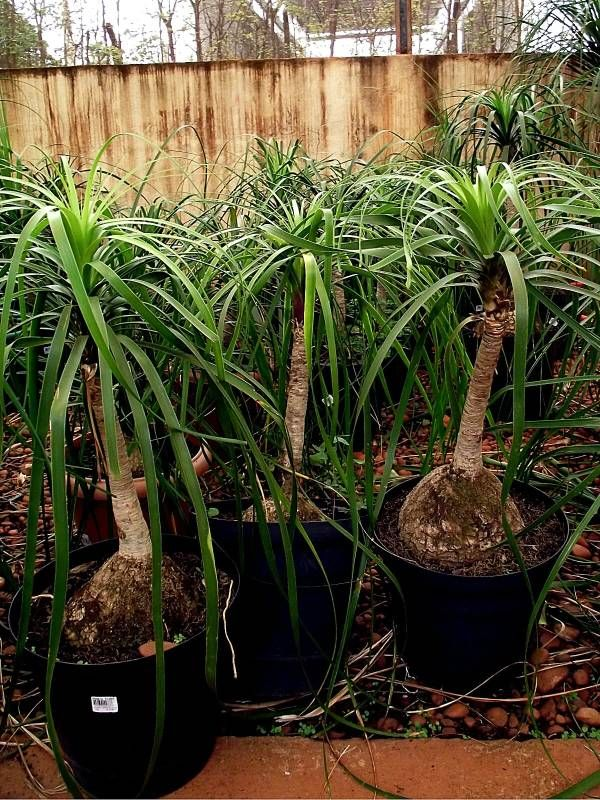 Beaucarnea recurvata nolina pata de elefante plantas - Planta pata de elefante ...