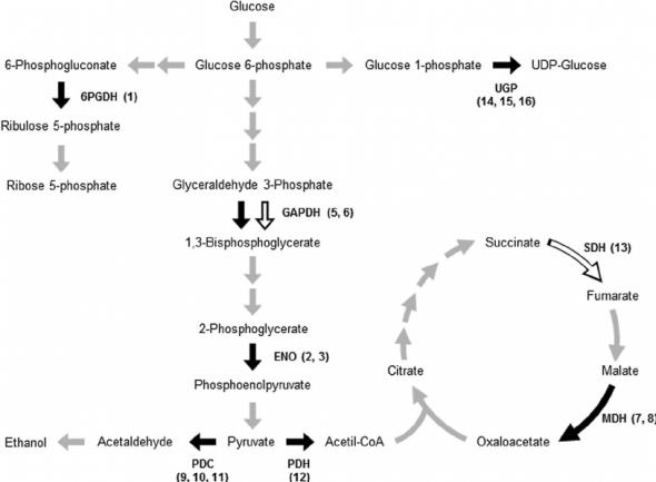 Diagram Of Glycolysis And Krebs Cycle Krebs Cycle Diagram Cycle