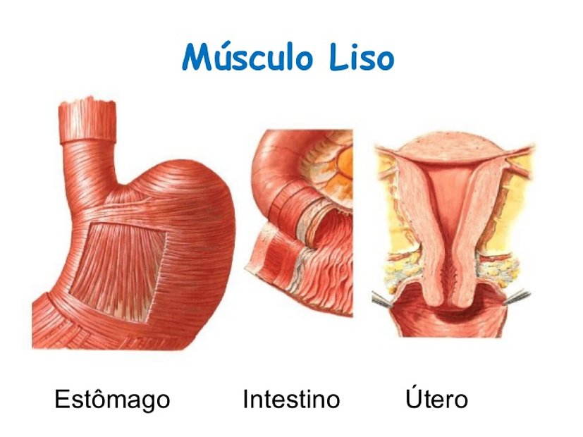 Músculo Cardíaco y Liso   mirandafisioterapia   Músculos   Pinterest ...