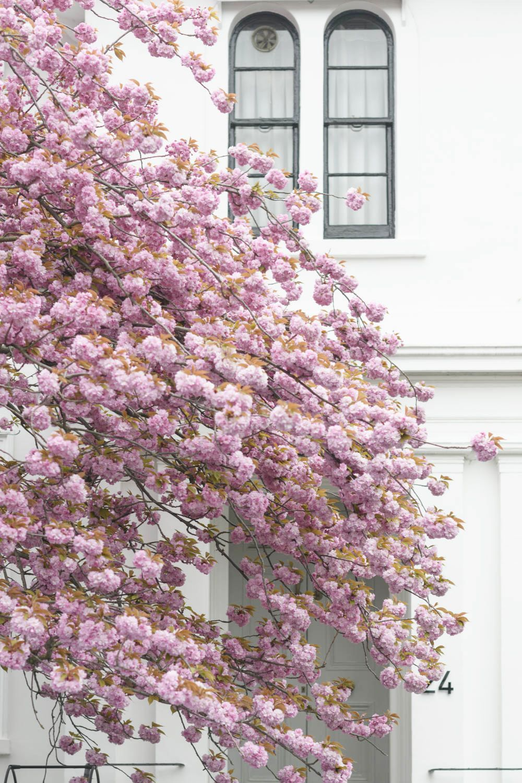 Cherry Blossoms In London Spring Blossom Romantic Garden Flowers