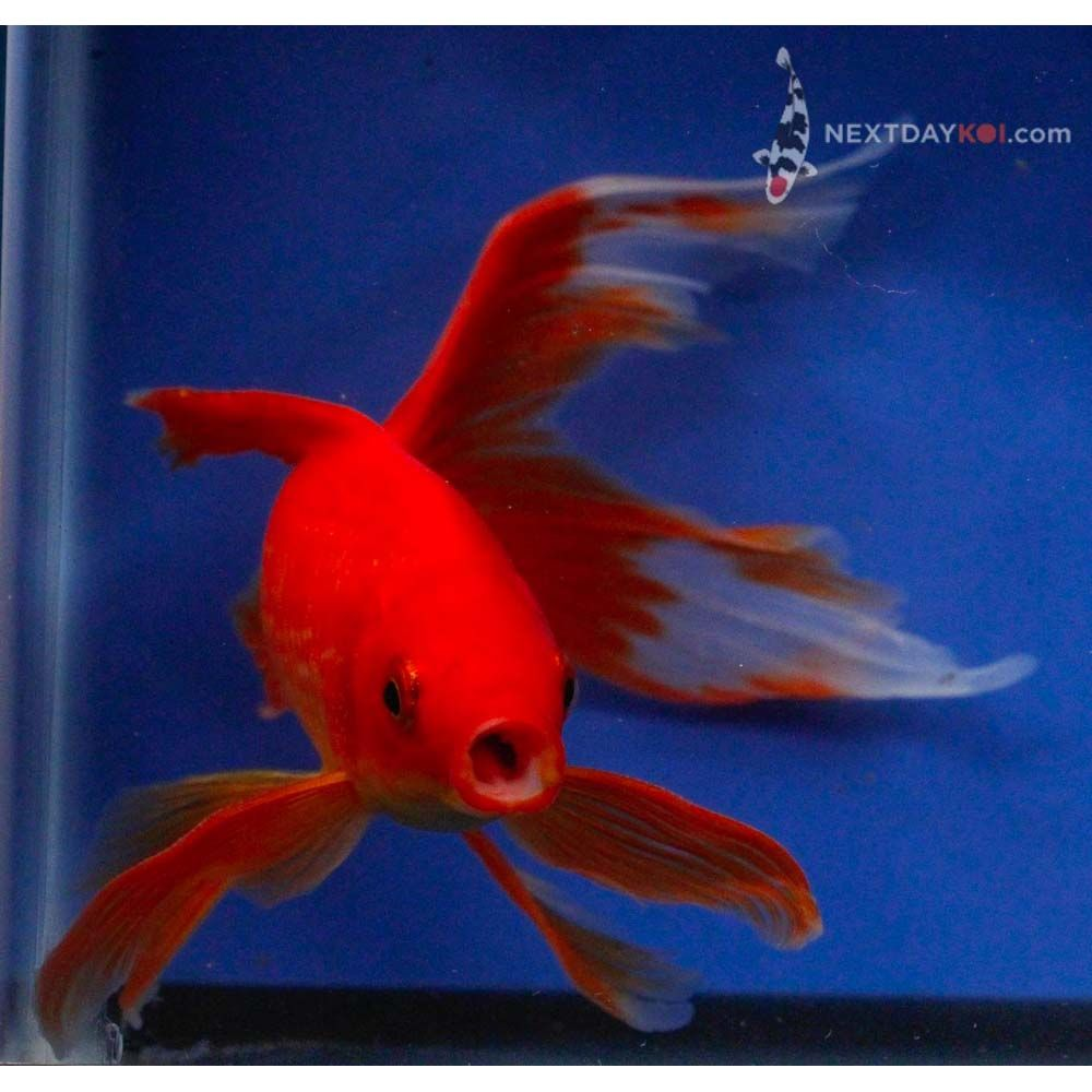 Koi Fish For Sale 6 8 Ruby Red Veiltail Comet Next Day Koi Koi Fish For Sale Fish For Sale Koi Fish