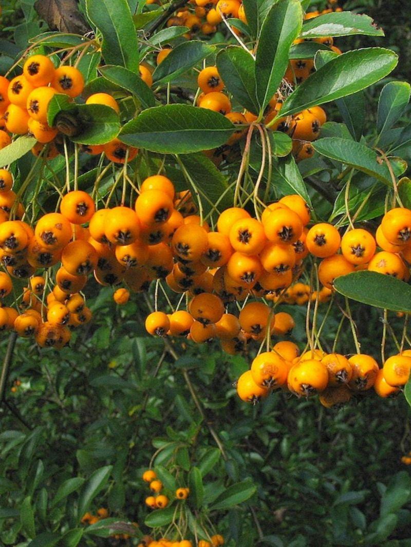 Vuurdoorn Soleil D Or Klimplanten Planten Bessen