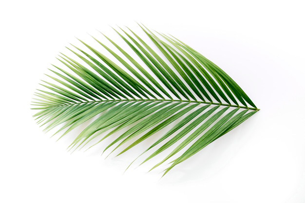 High Angle View Of A Tropical Palm Leaves Isolated On White Backdrop White Backdrop Leaf Images Palm Leaves