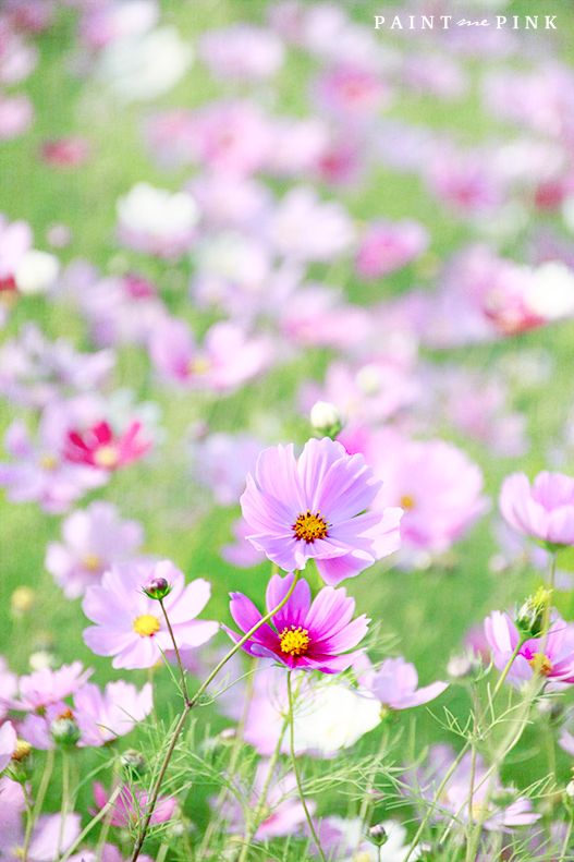 A Field Of Cosmos Cosmos Flowers Flowers Cosmos