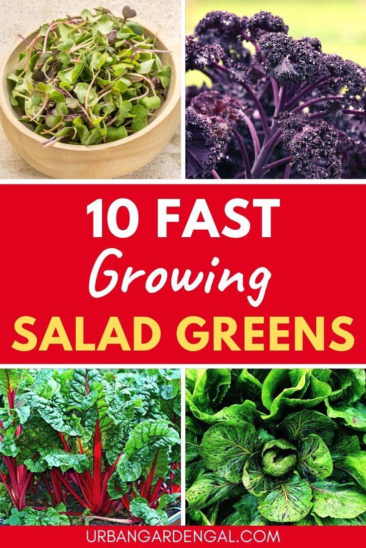 10 Fast Growing Salad Vegetables In 2020 Growing 400 x 300