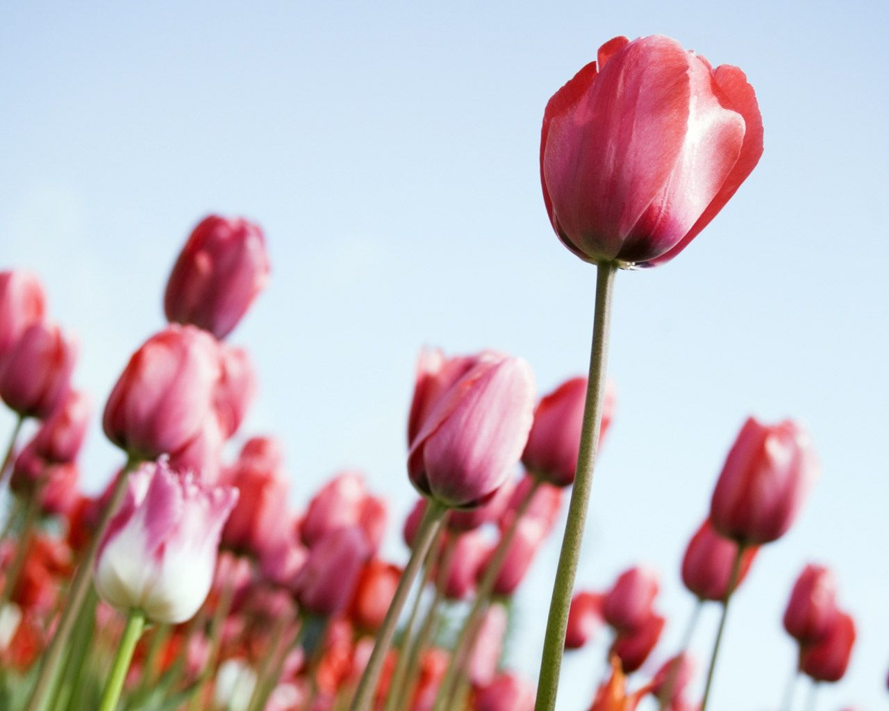 Dave Ruberto Tulips Rising Flowers Garden Photographs Tulips Flower Pictures Tulip Fields