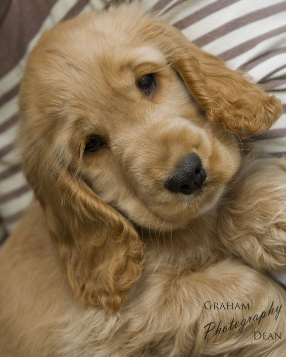 Golden Puppy Photograph By Gsdphotography On Etsy Cocker Spaniel Puppies Golden Puppy Dogs