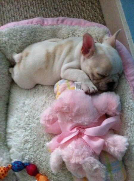 French Bulldog Baby Puppy Surprise French Bulldog Cute