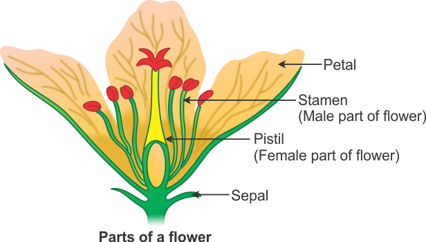 i what is the main function of flowers ii name the main