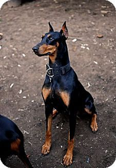 Adopt Bella On Doberman Pinscher Doberman Pinscher Dog Doberman