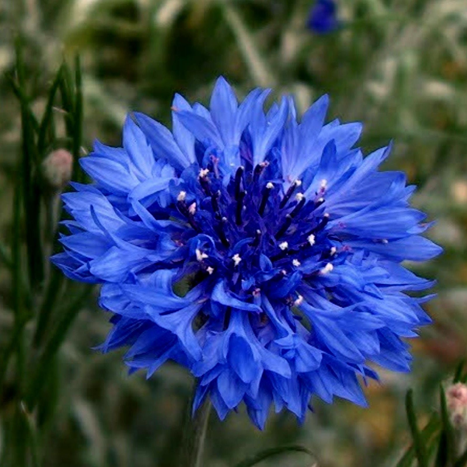 Edible Blue Bachelor Button Flower Seeds In 2020 Bachelor Button Flowers Bachelor Buttons Flower Seeds