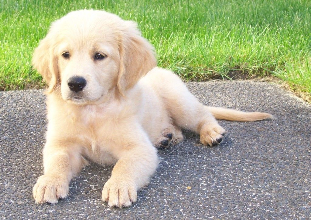 A Comfort Retriever Is A Golden Retriever That They Are Breeding