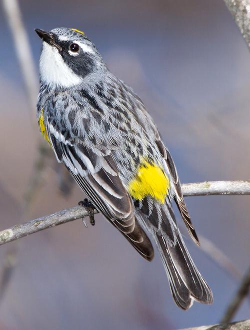 Male Yellow-Rumped Warbler, Myrtle Race (Setophaga coronata)