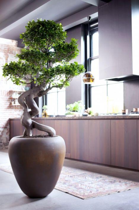 Ficus microcarpa tree for meditation room  Bonsai